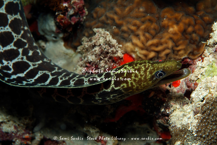 Dark-spotted Moray Eel (Gymnothorax fimbriatus) peering from a hiding place, Kouramaticut, Male Atoll, Maldives.