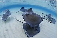 TR4680-Dm. Southern Stingrays (Dasyatis americana) swimming over shallow sandy bottom at the world famous Stingray City Sandbar off Grand Cayman. These rays grow to 6 feet wide, females are larger than males. They feed on fish, crabs, clams, shrimp, and worms. Grand Cayman, Cayman Islands, Caribbean Sea. People removed digitally.<br /> Photo Copyright &copy; Brandon Cole. All rights reserved worldwide.  www.brandoncole.com