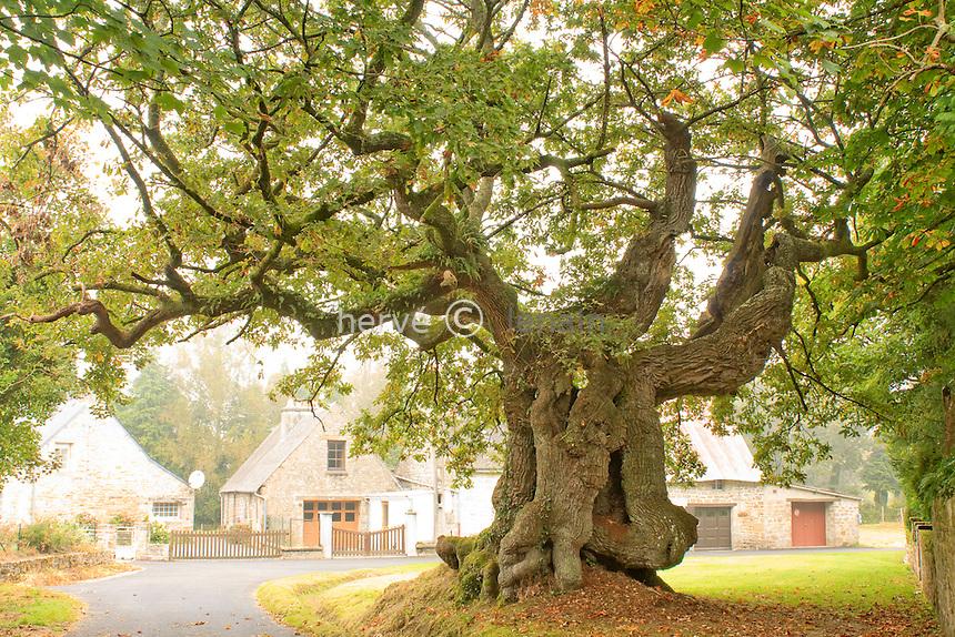 France, Bretagne, Morbihan (56), vers Guéméné-sur-Scorff, au hameau de Longueville, arbre remarquable, vieux chêne pédonculé, Quercus robur // France, Bretagne, Morbihan, near Guéméné-sur-Scorff, hamlet of Longueville, remarkable tree, old oak, Quercus robur...GPS : Z 30 U.X 0484042.Y 5322264