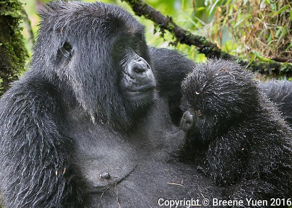 Gorilla Baby Feeding Rwanda 2015
