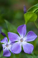 Vinca Periwinkle, Vinca minor, the common periwinkle evergreen shrub in springtime in Swinbrook in the Cotswolds, Oxfordshire, UK