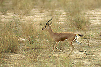 Wild Indian Deer in the Thar Desert near Jaisalmer