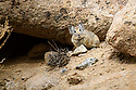 Royle's pika (Ochotona roylei) on a rocky slope.  Himalayas, Ladakh, northern India.