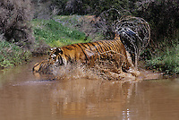 683999365 a captive adult bengal tiger panthera tigris runs into a pond splashing water species loves water is endangered and this tiger is a wildlife rescue