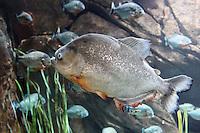 Stock image: Group of Red Piranha fishes at Georgia Aquarium USA.