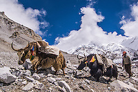 A Tibetan Yak Train near Mount Cho Oyu in Tibet