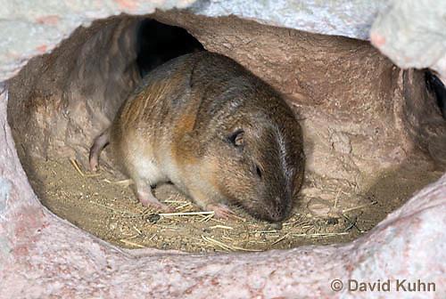 1116-0802  Botta's Pocket Gopher (Valley Pocket Gopher) Underground in Burrow, Thomomys bottae © David Kuhn/Dwight Kuhn Photography
