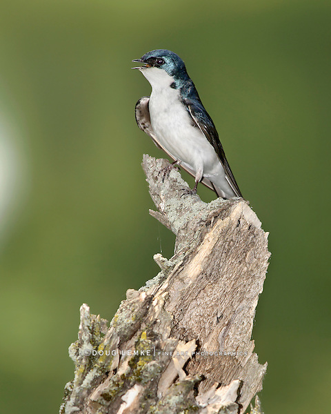 A Bird On An Old Stump, The Tree Swallow In Profile Pose, Tachycineta bicolor, Green Background With Space For Copy