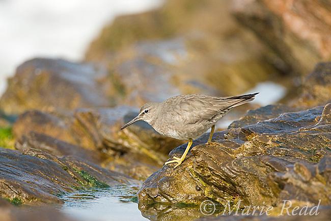 Wandering Tattler (Heteroscelus incanus), nonbreeding plumage, Crystal Cove State Park, California, USA