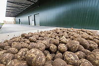 Graded potatoes waiting to go into store - Lincolnshire, October