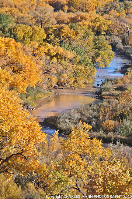 Cottonwoods in fall color line the banks of the Chama River in October  near the village of Abiquiu in northern New Mexico.