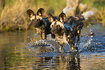 African wild dog (Lycaon pictus) pups running across shallow water, Botswana, Okavango Delta, Moremi Game Reserve