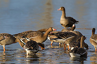 537260017 wild  greater white-fronted geese anser albifrons at colusa national wildlife refuge califonia