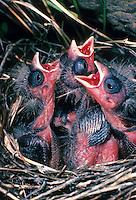 Berghänfling, Berg-Hänfling, Küken bettelnd, sperrend im Nest, Carduelis flavirostris, Acanthis flavirostris, twite