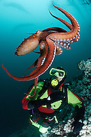 pp0067-D. Pacific Giant Octopus (Enteroctopus dofleini) interacts with scuba diver (Model Released). British Columbia, Canada, Pacific Ocean..Photo Copyright © Brandon Cole. All rights reserved worldwide.  www.brandoncole.com..This photo is NOT free. It is NOT in the public domain. This photo is a Copyrighted Work, registered with the US Copyright Office. .Rights to reproduction of photograph granted only upon payment in full of agreed upon licensing fee. Any use of this photo prior to such payment is an infringement of copyright and punishable by fines up to  $150,000 USD...Brandon Cole.MARINE PHOTOGRAPHY.http://www.brandoncole.com.email: brandoncole@msn.com.4917 N. Boeing Rd..Spokane Valley, WA  99206  USA.tel: 509-535-3489