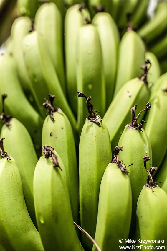 A bunch of green unripe bananas at Harold L. Lyon Arboretum and Botanical Garden,Honolulu, Oahu, Hawaii