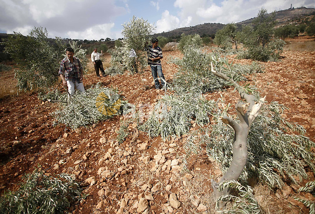 Palestinian farmers inspect the broken branches of olive trees in the northern West Bank village of Qusra, Sunday, Sept. 25, 2011. Palestinian farmers found some 400 olive trees uprooted or torn apart in the West Bank village of Qusra on Sunday. They blamed nearby hardline Jewish settlers for the damage. Photo by Wagdi Eshtayah