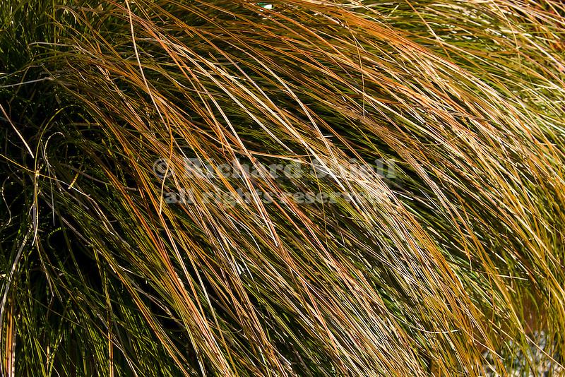 ORANGE SEDGE GRASS, CAREX TESTACEA