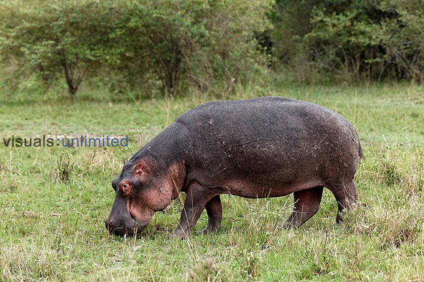 Hippopotamus grazing away from the river, Masai Mara, Kenya