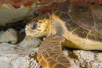 Loggerhead sea turtle, Caretta caretta, Bahamas, Caribbean, Atlantic