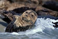 Harbor seal ; CA, San Diego