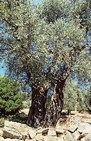 Olivenbaum, Oliven-Baum, Ölbaum, Olive, Oliven, Olea europaea, Olive
