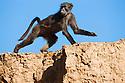 Namibia;  Namib Desert, Skeleton Coast, Hoanib River, chacma baboon (Papio ursinus) jumping on sand bank