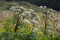 Arznei-Engelwurz, Echte Engelwurz, Angelica archangelica, Archangel, Garden Angelica, Holy Ghost, Wild Celery, Norwegian angelica, L'angélique vraie, l'archangélique, l'angélique officinale
