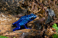 The Blue Poison Dart Frog (Dendrobates azureus), captive