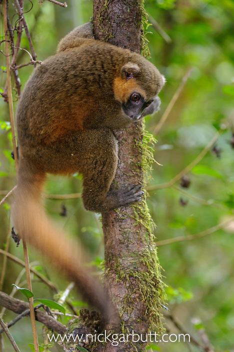 Golden Bamboo Lemur (Hapalemur aureus) climbing in forest canopy. Ranomafana National Park, Madagascar.