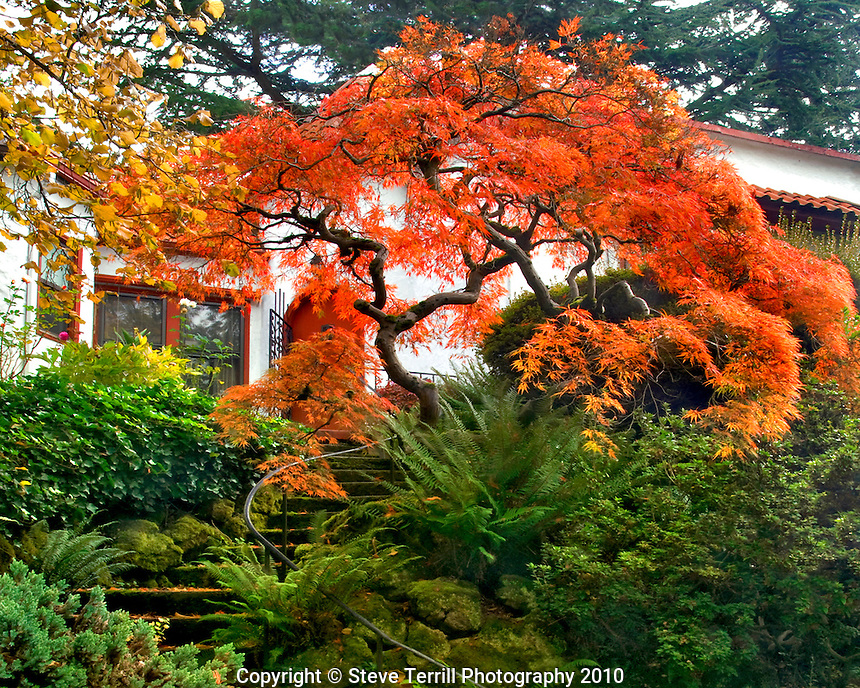 Japanese maple at top of moss covered stairs at house in northeast Portland, Oregon