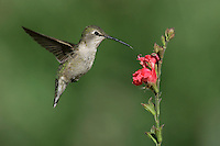 Costa's Hummingbird - Calypte costae - Adult female