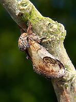 Pebble Prominent - Notodonta ziczac