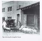 Calne Heritage Centre museum, Heritage Quarter,  Calne, Wiltshire, England, UK old photo pigs entering the slaughter house harris factory