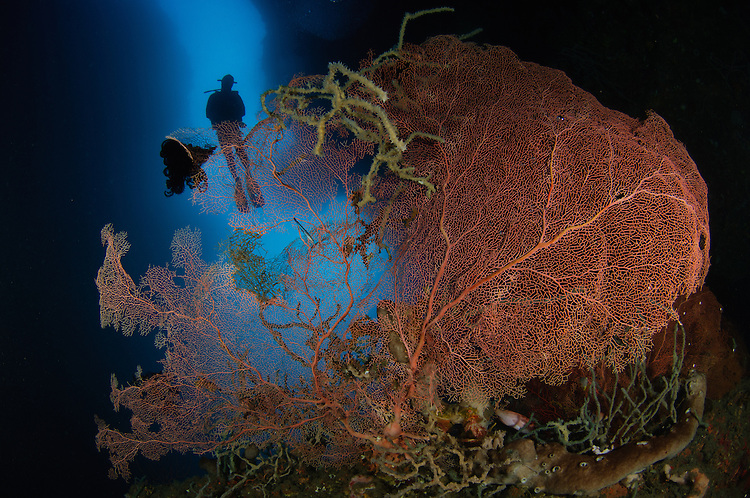 A diver descends in a cavern abovve a gorgomnian sea fan, Gorontalo, Sulawesi, Indonesia