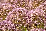 Coastal Maine Botanical Gardens.  'purple caila' ownimental allium.
