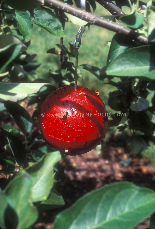 Red Tanglefoot apple sticky trap for catching insect pests in apple trees