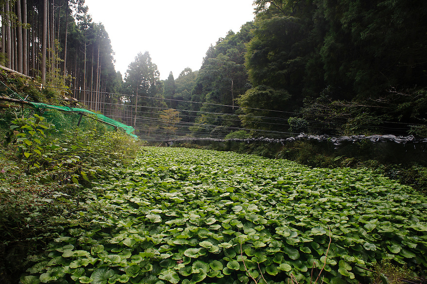 A field of wasabi, Marutou Wasabi, Shimoda, Japan, October 17, 2010.