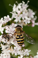 Behaarte Schwebfliege, Blütenbesuch, Nektarsuche, Bestäubung, Blütenökologie, Syrphus torvus, hoverfly, hover fly, syrphid fly, flower fly, hoverflies, hover flies, syrphid flies, flower flies