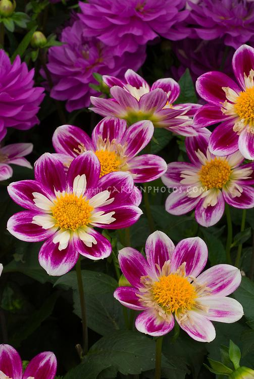 Dahlia Impression Fabula, dwarf growing summer tender bulb perennial