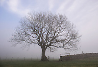 Trees in mist and fog at Dinkling Green, Whitewell, Clitheroe, Lancashire.