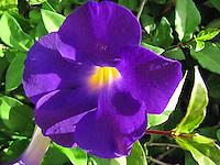 Illuminating vibrant bright radiant purple blue allamanda bell flower in the sunlight