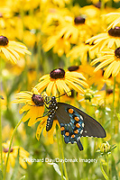 03004-01610 Pipevine Swallowtail (Battus philenor) on Black-eyed Susans (Rudbeckia hirta) Marion Co. IL