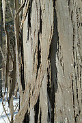 Close-up of the bark of a Shagbark Hickory tree  during the winter months in a New England Forest, USA