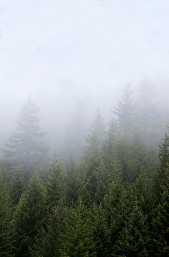 Hillside of evergreen trees in morning fog, Columbia River Gorge, Oregon, USA
