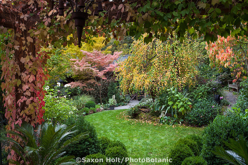 Wide grassy lawn path through California garden with fall color, seen from arbor covered with boston ivy