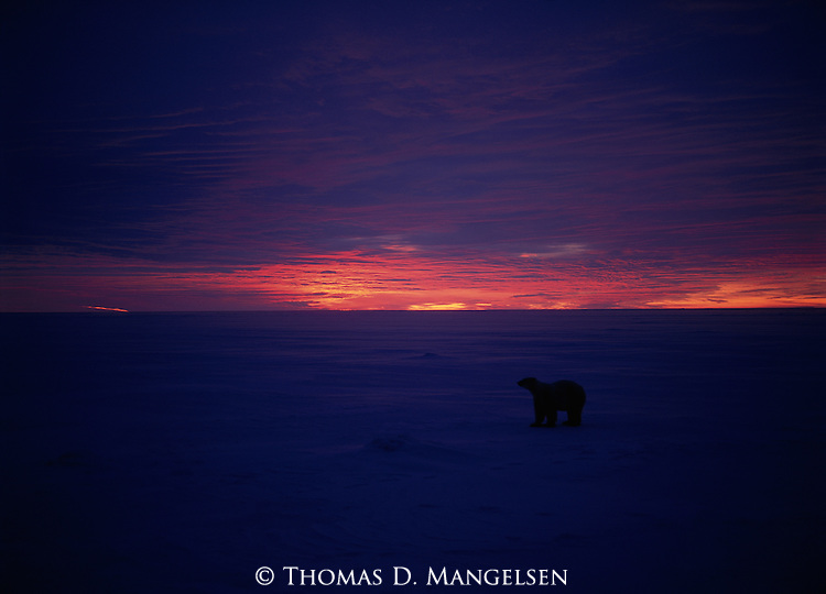 A polar bear searches the ice for seals at Hudson Bay, Manitoba, Canada.