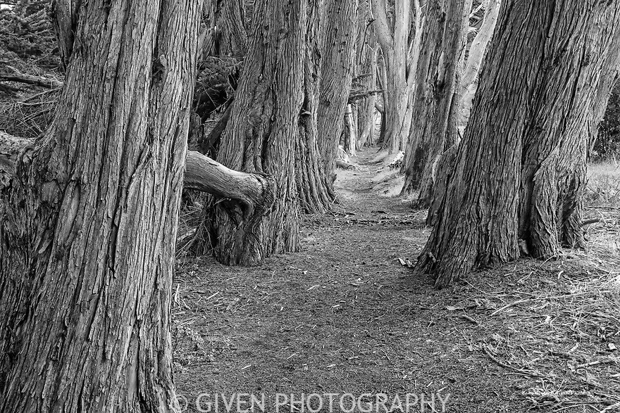 Cypress Trees and Trail on the Sonoma Coast, California