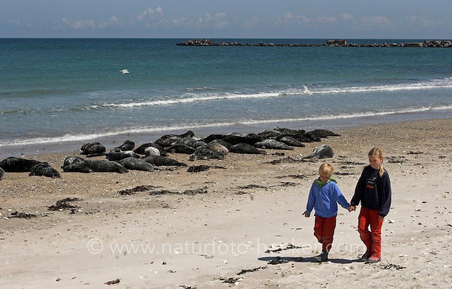 Kinder spazieren am Strand entlang in nächster Nähe zu Kegelrobben und Seehunden, Helgoland, am Strand der Düne, Kegelrobbe, Kegel-Robbe, Halichoerus grypus, gray seal und Seehund, See-Hund, Phoca vitulina, harbor seal, common seal