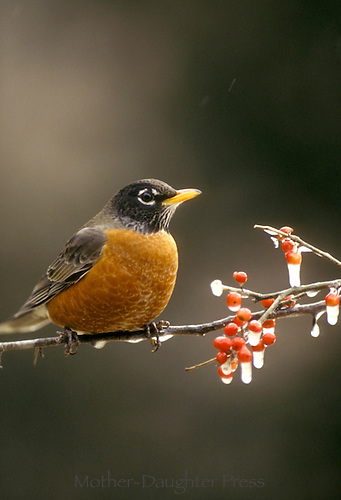 Robin, Turdus migratorius, on branch of holly with ice in winter